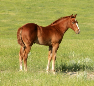 CM Nonstop Dynamite- 2013 Filly